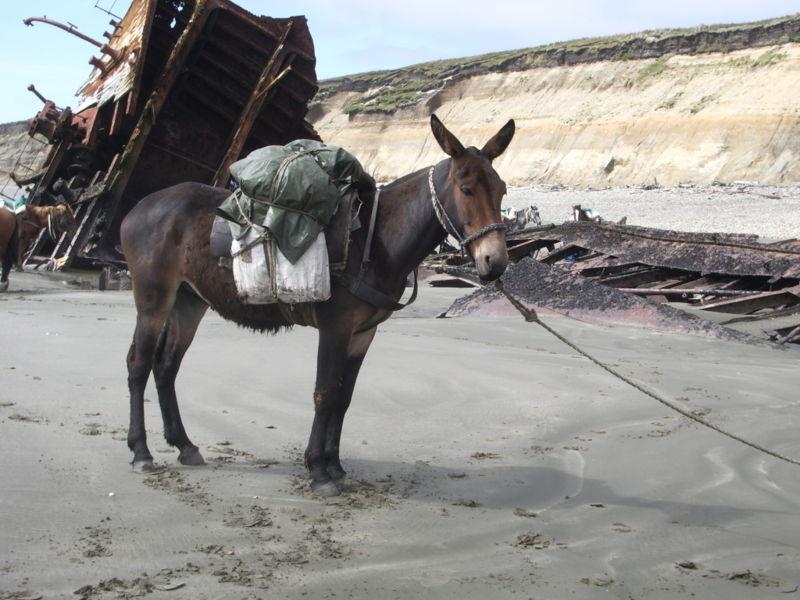 Mule (public domain image)